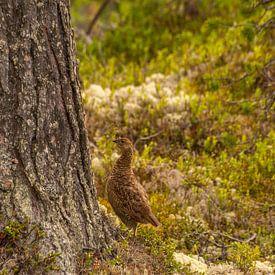 Korhoen in Zweden van Margreet Frowijn