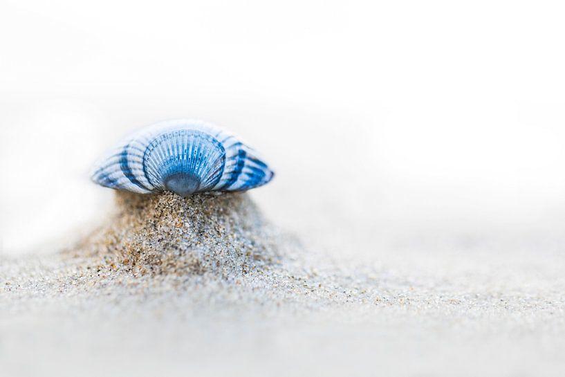 Gemeine Herzmuschel von AGAMI Photo Agency