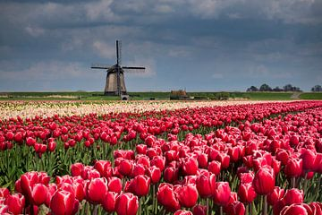 Tulpen en molen van