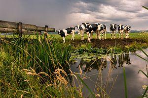 Koeien in slecht weer van