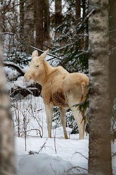 Seltene weiße Elche in Värmland von Jeanine den Engelsman