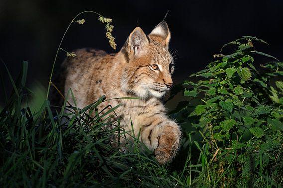 Young Eurasian Lynx (Lynx lynx) in spotlight