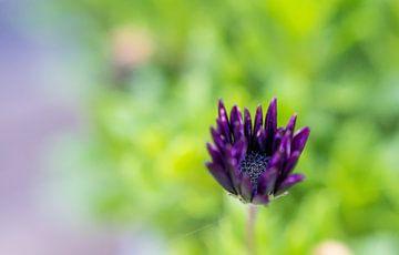 Purple flower van Anita Servaas