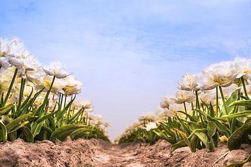 blühende Tulpen von nilix fotografie