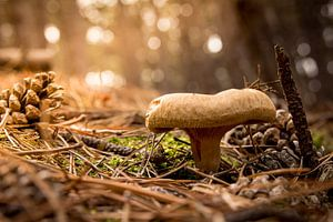 paddestoel in het bos 2015 03