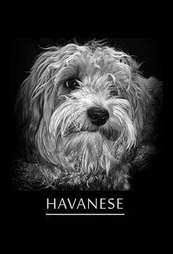 Havaneser von Leopold Brix