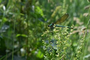 Libelle in natürlicher Landschaft
