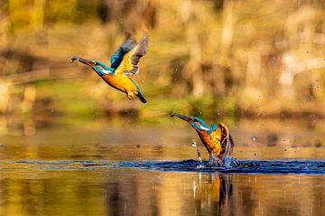 Dubbele jagende ijsvogel uit het water met visje