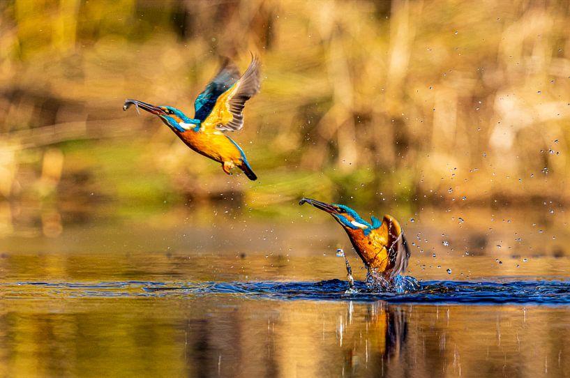 Dubbele jagende ijsvogel uit het water met visje van Photo Henk van Dijk