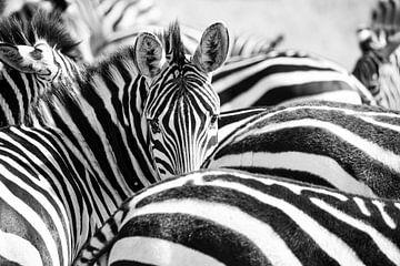 Zebras Kenia von Jan Fritz