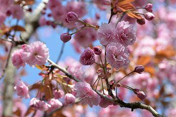 Blütenzeit von zwergl 0611