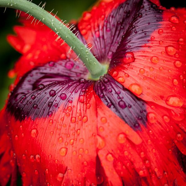 Red poppy van Ada Zyborowicz