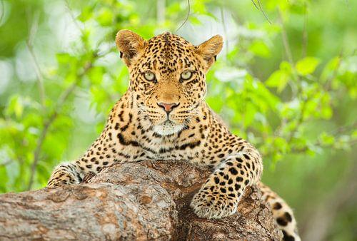 Portret van een vrouwtjes Luipaard (Panthera pardus) in een boom van Nature in Stock