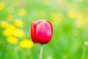 Eenzame tulp van Ineke Boeter