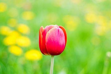 Eenzame tulp von Ineke Boeter