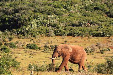 Afrikanischer Elefant wandert durch die Savanne in der Wildnis von Bobsphotography
