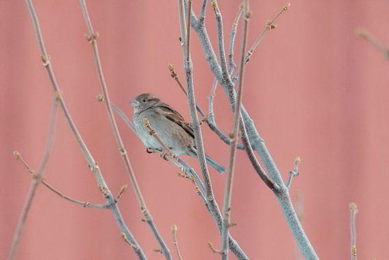 Huismus voor Rorbuer | Foto print Noorwegen | Vogelfotografie