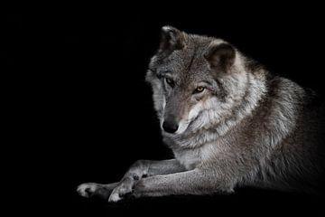 Niedlich sieht eine halbe Drehung aus. Die Wölfin liegt wunderschön am Boden, imposant liegt sie. Mä von Michael Semenov