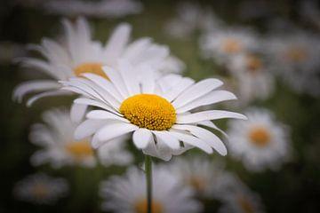 Flower von Wim van D