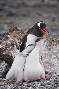 Gentoo penguinfamily Antarctica van ad vermeulen