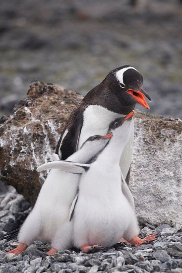 Gentoo penguinfamily Antarctica