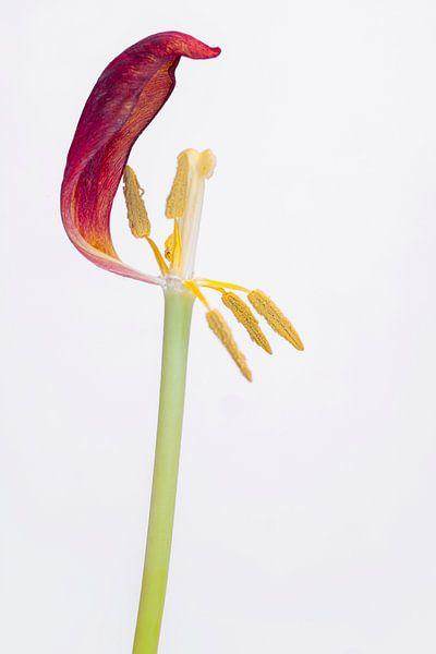 Kreukelige tulp 4. van Pieter van Roijen
