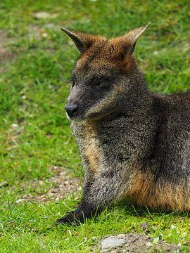 Sumpf-Wallaby : Königlicher Burgers Zoo von Loek Lobel