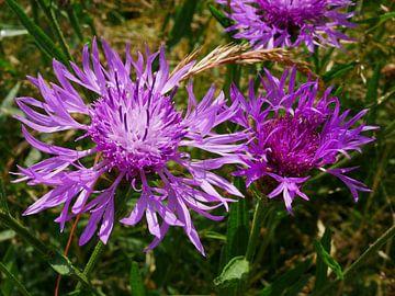 Blüten des Staudenknöterichs. von Wim vd Neut