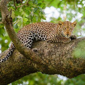 Leopard in einem Baum von Richard Guijt