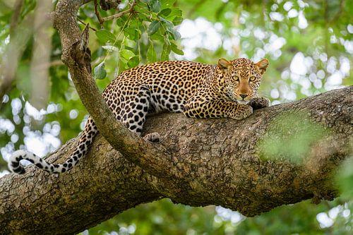 Leopard in einem Baum von