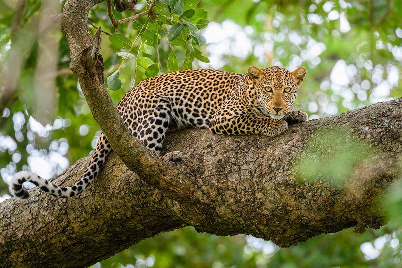 Luipaard in een boom van Richard Guijt Photography