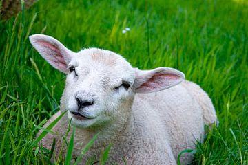 Lamm auf der Wiese 2 von Bianca ter Riet