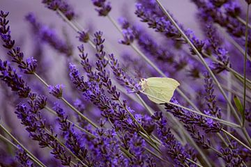 Vlindertje in lavendel von Angela R.