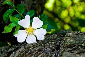 Wild rose sur Milou Oomens