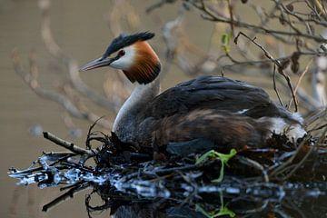 Haubentaucher ( Podiceps cristatus ) sitzt auf dem Nest, brütet, wildlife, Europa. von wunderbare Erde