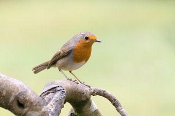 Robin sur la branche sur Christa Thieme-Krus