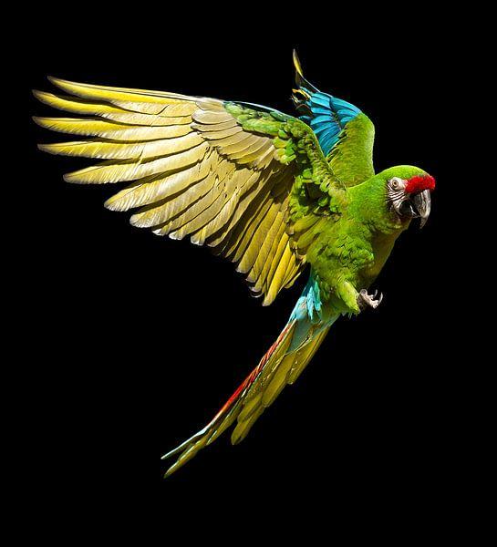Military Macaw van Ulrich Brodde
