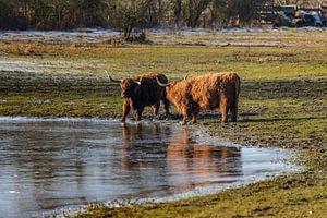 Schotse koeien langs het water op een zonnige winterdag