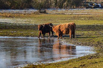 Schottische Kühe entlang dem Wasser an einem sonnigen Wintertag von Fotografiecor .nl