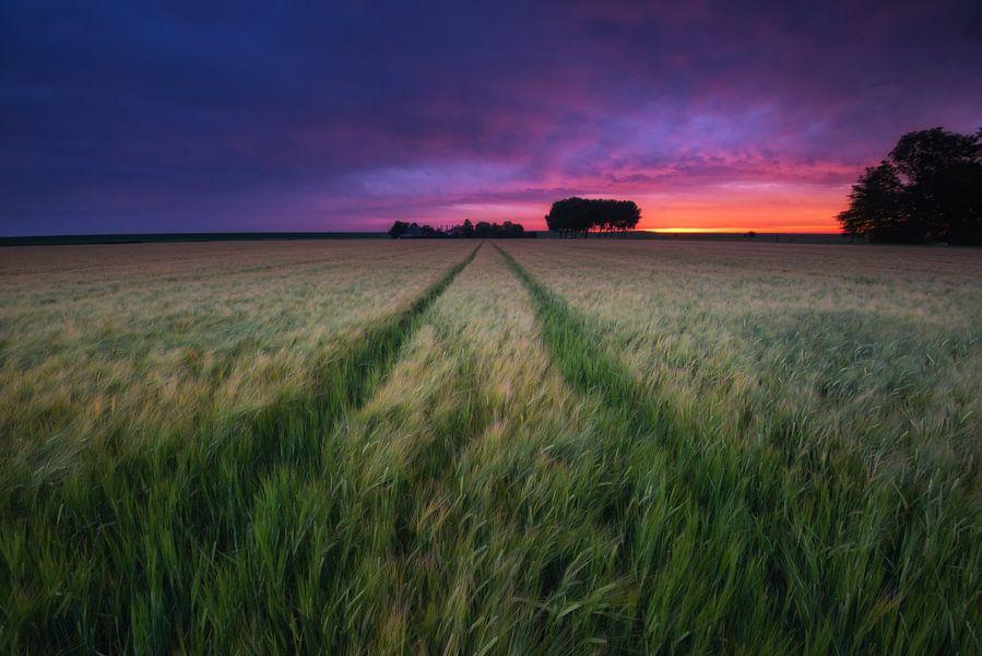 Wuivend graan bij zonsopkomst. Waving grain at sunrise. Wehende Korn bei Sonnenaufgang.