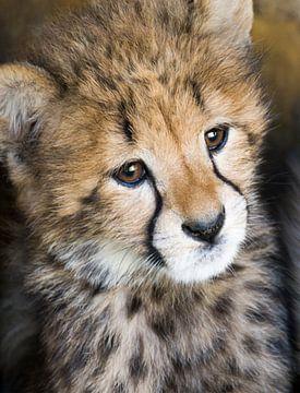 Junger Gepard von Marcel van Balken