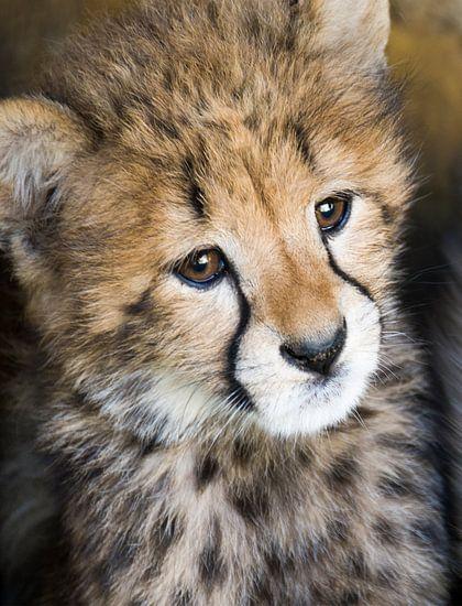 Jonge cheetah van Marcel van Balken
