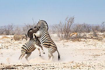 Zwei Zebramännchen kämpfen um ein Weibchen von Jeroen de Weerd