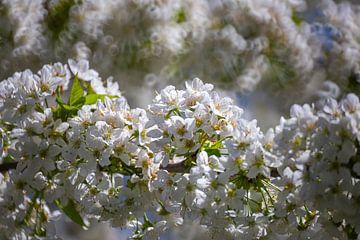 Kersenbloesems - bloesems aan de kersenboom van Gerwin Schadl