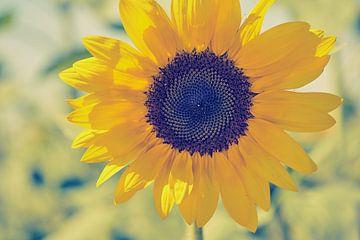 Eine Sonnenblume von C. Nass