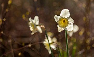 Narzissen im Wald mit Gegenlicht von Percy's fotografie