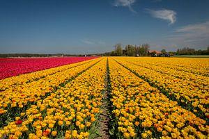 Bloemenveld in Bollenstreek bij Noordwijk