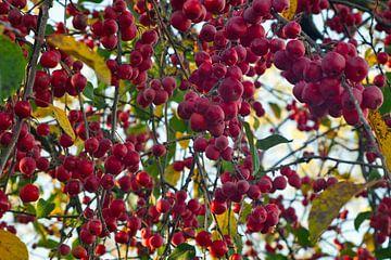 Rode wilde appels aan de boom in november van J..M de Jong-Jansen