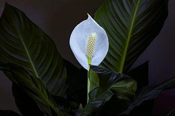 Spathiphyllum oder Löffelpflanze von Rien Buiter