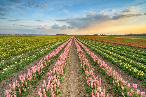 Sonnenuntergang in einem Tulpenfeld